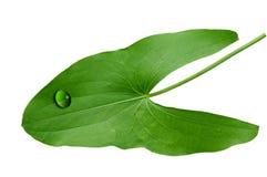 φύλλο araceae Στοκ Εικόνα
