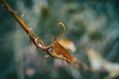 Φύλλο aspera Smilax που αναρριχείται στο φυτό Στοκ Εικόνα