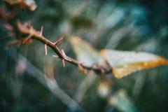 Φύλλο aspera Smilax που αναρριχείται στο φυτό Στοκ φωτογραφία με δικαίωμα ελεύθερης χρήσης