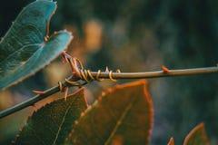 Φύλλο aspera Smilax που αναρριχείται στο φυτό Στοκ εικόνες με δικαίωμα ελεύθερης χρήσης