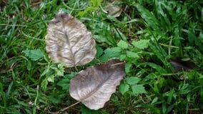 Φύλλο Bodhi στον κήπο Στοκ φωτογραφίες με δικαίωμα ελεύθερης χρήσης