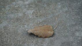 Φύλλο Bodhi στο πάτωμα Στοκ Εικόνες