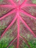φύλλο caladium Στοκ φωτογραφίες με δικαίωμα ελεύθερης χρήσης
