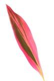 φύλλο cordyline Στοκ φωτογραφίες με δικαίωμα ελεύθερης χρήσης