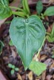 Φύλλο cucullata Alocasia στοκ φωτογραφίες με δικαίωμα ελεύθερης χρήσης