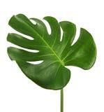 Φύλλο deliciosa Monstera ή ελβετικό φυτό τυριών, που απομονώνεται στο άσπρο υπόβαθρο Στοκ φωτογραφίες με δικαίωμα ελεύθερης χρήσης