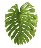 Φύλλο deliciosa Monstera ή ελβετικό φυτό τυριών, που απομονώνεται στο άσπρο υπόβαθρο Στοκ φωτογραφία με δικαίωμα ελεύθερης χρήσης