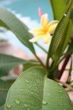 φύλλο frangipani Στοκ εικόνες με δικαίωμα ελεύθερης χρήσης