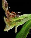 φύλλο larvas λουλουδιών μυρμηγκιών Στοκ Εικόνα
