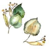 Φύλλο Linden Floral φύλλωμα βοτανικών κήπων φυτών φύλλων Στοκ φωτογραφία με δικαίωμα ελεύθερης χρήσης