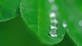 Φύλλο Lupine με τις σταγόνες βροχής απόθεμα βίντεο