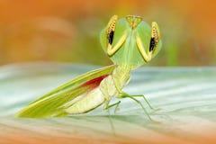 Φύλλο Mantid, rhombicollis Choeradodis, έντομο από τον Ισημερινό Όμορφο πίσω φως βραδιού με το άγριο ζώο Σκηνή άγριας φύσης από ε Στοκ Φωτογραφία