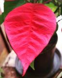 Φύλλο Poinsettia Στοκ φωτογραφία με δικαίωμα ελεύθερης χρήσης