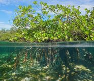 Φύλλωμα δέντρων μαγγροβίων με την υποβρύχια θάλασσα ριζών Στοκ φωτογραφία με δικαίωμα ελεύθερης χρήσης