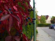 Φύλλωμα και μούρα φθινοπώρου στην πόλη Στοκ Εικόνες