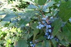 Φύλλωμα και μπλε μούρα του Όρεγκον-σταφυλιού στοκ φωτογραφία