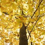 φύλλωμα κλάδων κίτρινο Στοκ Φωτογραφία