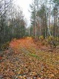 φύλλωμα Λευκορωσία σημύδων φθινοπώρου φύσης δασικών δρόμων landscspe στοκ εικόνες