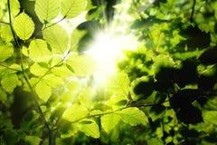 Φύλλωμα που πλαισιώνει τον ήλιο Στοκ Φωτογραφίες