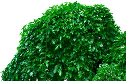 φύλλωμα πράσινο Στοκ εικόνες με δικαίωμα ελεύθερης χρήσης