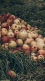 Φύλλωμα πτώσης και κόκκινα μήλα κοντά στο λόφο Επιλογή της Apple, έννοια ημέρας των ευχαριστιών Δρύινα φύλλα, σανίδες, βροχή, φθι στοκ εικόνες