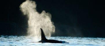 Φύσηγμα φαλαινών δολοφόνων Orca Στοκ Φωτογραφίες