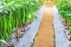 Φύσης τοπίων ζωηρόχρωμη φρέσκια κόκκινη και πράσινη ένωση πιπεριών τσίλι μακροχρόνια με τις πτώσεις νερού στο δέντρο στο οργανικό στοκ εικόνα με δικαίωμα ελεύθερης χρήσης