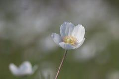 Φύση, άνοιξη, κινηματογράφηση σε πρώτο πλάνο sylvestris Anemone Στοκ Εικόνα