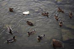 Φύση Άσπρη πάπια μεταξύ των κοινών παπιών Στοκ Φωτογραφίες