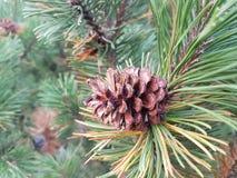 φύση δέντρων κώνων Στοκ Εικόνες