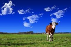 φύση βουνών λιβαδιών τοπίων αγελάδων έννοιας Στοκ Εικόνες