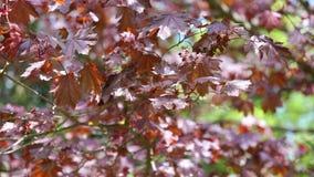 Φύση, δέντρο, Hydrangea Paniculata, Panicled Hydrangea, διακοσμητικός, διακοσμητικό, φύλλα, πράσινα, φύλλωμα, ταλάντευση, ευγενής απόθεμα βίντεο