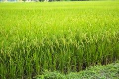 Φύση εγκαταστάσεων τομέων ρυζιού υπαίθρια στοκ εικόνες