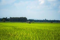 Φύση εγκαταστάσεων τομέων ρυζιού υπαίθρια στοκ φωτογραφία
