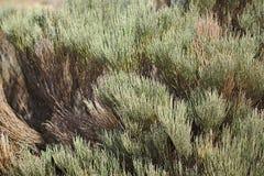 Φύση και εγκαταστάσεις στην έρημο, ο Μπους, βουνά, καναρίνι, Tenerife, μακροεντολή στοκ φωτογραφίες με δικαίωμα ελεύθερης χρήσης