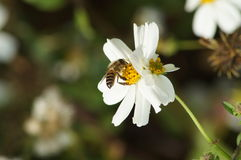 Λουλούδια και μέλισσες Στοκ φωτογραφίες με δικαίωμα ελεύθερης χρήσης