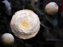 Φύση και λουλούδι Ανοικτή καμέλια Στοκ φωτογραφία με δικαίωμα ελεύθερης χρήσης
