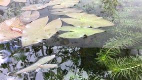 Φύση με το πράσινο φύλλο λωτού απόθεμα βίντεο