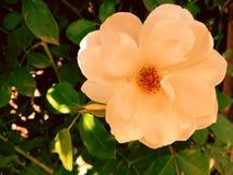 Φύση λουλουδιών Στοκ Φωτογραφίες