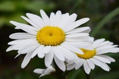 Φύση λουλουδιών Chamomile Στοκ εικόνα με δικαίωμα ελεύθερης χρήσης
