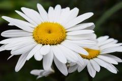 Φύση λουλουδιών Chamomile Στοκ φωτογραφία με δικαίωμα ελεύθερης χρήσης