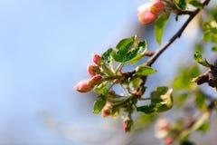 Φύση Ρόδινα άνθη στον κλάδο του δέντρου μηλιάς Στοκ εικόνα με δικαίωμα ελεύθερης χρήσης