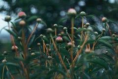Φύση της άνθιση-peonies-άνθισης λουλουδιών της Άπω Ανατολής Στοκ Εικόνες