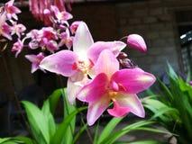 Φύση της καρφίτσας ορχιδεών της Σρι Λάνκα και του άσπρου λουλουδιού χρώματος μιγμάτων στοκ εικόνες
