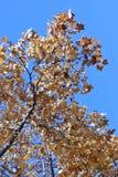 Φύση το φθινόπωρο, έδαφος Altai, δυτική Σιβηρία, Ρωσία Στοκ Εικόνες