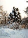 Φύση το χειμώνα, μετά από τις χιονοπτώσεις, χιονισμένα δέντρα έλατου στις ακτίνες του ηλιοβασιλέματος Στοκ φωτογραφία με δικαίωμα ελεύθερης χρήσης