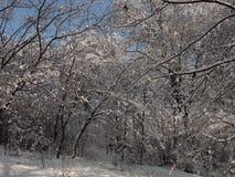 Φύση το χειμώνα, μετά από τις χιονοπτώσεις, το χιονισμένο δασικό αλσύλλιο, θάμνος Στοκ φωτογραφία με δικαίωμα ελεύθερης χρήσης