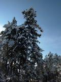 Φύση το χειμώνα, χιονισμένο δάσος πεύκων Στοκ Εικόνες