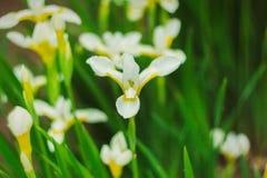 Φύση των αιώνιων εγκαταστάσεων της Άπω Ανατολής, λουλούδια Φύση στις αρχές του καλοκαιριού Στοκ φωτογραφία με δικαίωμα ελεύθερης χρήσης