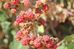 Φύση φρούτων περιοχών του Blackberry Ismayilly Talistan στοκ εικόνες